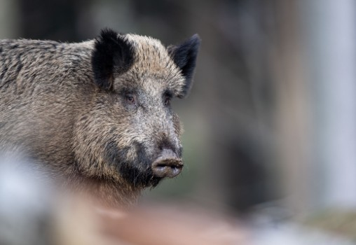 'Source of great concern': What you need to know about African swine fever in Germany