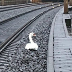 Swan Late: Mourning bird holds up German trains