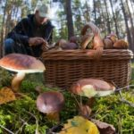 What's behind the German fascination with foraging for wild mushrooms?
