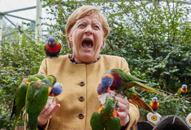 German election fever: Merkel's parrots and a talking fox